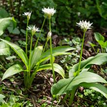 Blooming Wild Garlic Plants In...