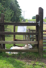 Sheep At Style Fence In Yorkshire Dales