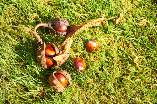Opened horse chestnut (Aesculus) shell on the ground in green grass Wallpaper Mural