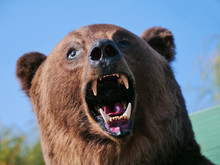 Real Stuffed Carpathian Brown Bear (Ursus Arctos) On Display. Taxidermy Showing The Bear's Head, Big Teeth And Nose.