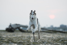 Borzoi In Action