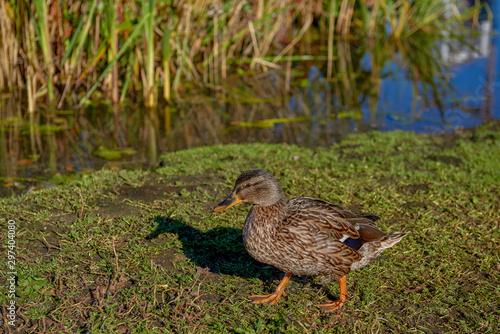 Mallard, Mallard Duck (Anas platyrhynchos) - a species of large water bird of th Wallpaper Mural