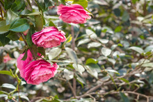 Closeup Of Pink Camellia Japonica Flowers In Bloom With Blurred Background And Copy Space On Right