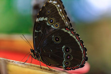 Giant Exotic Butterfly, Giant Owl Butterfly Caligo