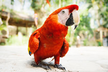 Walking Red Macaw Or Scarlet Macaw Ara Macao With Green Sunny Jungle Background