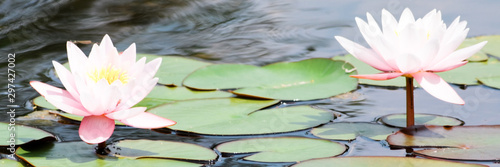 Cuadros en Lienzo pink water lily in pond