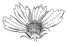 Coreopsis, Flower, Asteraceae,...