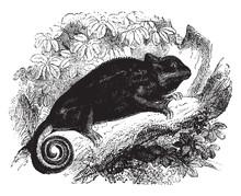 Common Chameleon, Vintage Illu...