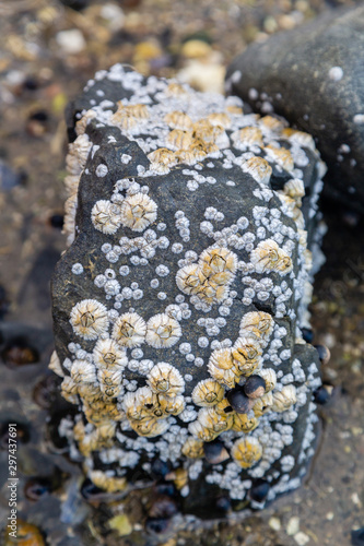 Photo barnacles on a rock