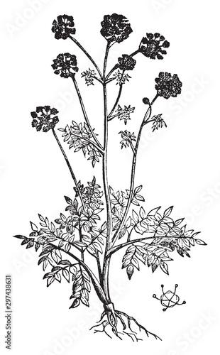 Angelica vintage illustration. Fototapet
