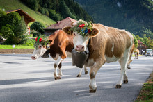 Cows On The Annual Transhumance At Charmey Near Gruyeres, Fribourg Zone On The Swiss Alps