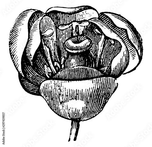 Berberis Flower vintage illustration. Canvas Print