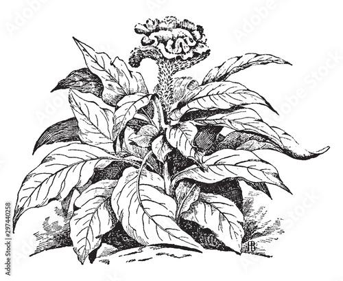 Celosia Cristata vintage illustration. Fototapet