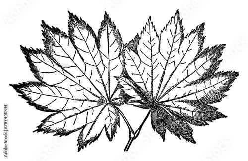 Photo Acer Japonicum vintage illustration.