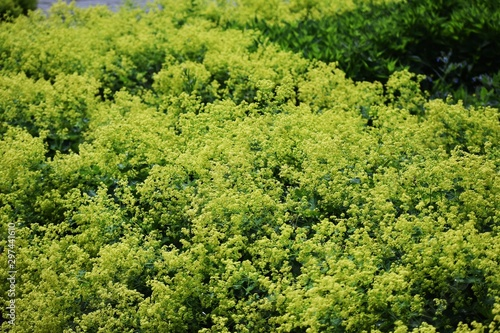 Stampa su Tela Alchemilla Glaucescens, Alchemilla mollis, the garden lady's-mantle or lady's-mantle, is a genus of herbaceous perennial plants in the family Rosaceae