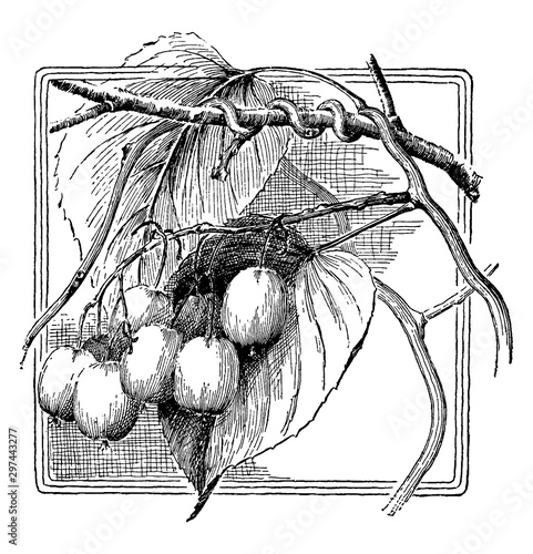 Photo Actinidia Arguta vintage illustration.