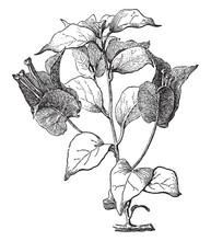 Bougainvillea, Glabra, Flower,...
