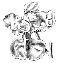Flower Of Oncidium Luridum Vintage Illustration.