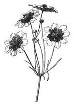 Branch, Flower, Coreopsis, Tinctoria, Tickseed, Grows, One, Three, Feet, Tall Vintage Illustration.