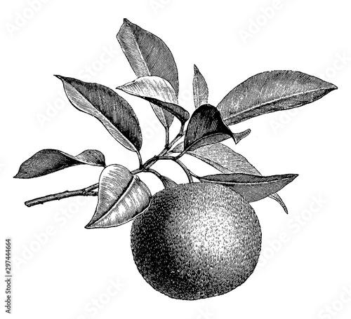 Fruiting Branch of Orange vintage illustration.