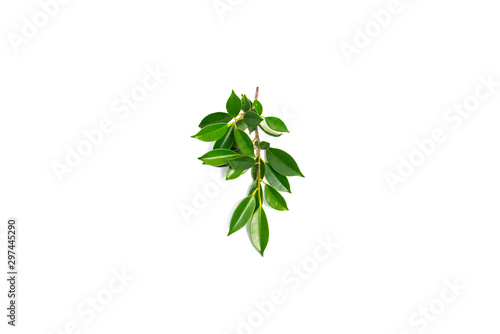 Fotografía  Green shrub of Banyan tree or Ficus annulata Leaf isolated on white background