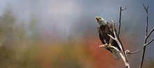 Bald Eagle In Nature During Fall