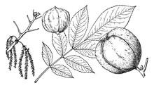 Branch Of Shellbark Hickory Vi...