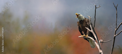 Poster Aigle bald eagle in nature during fall