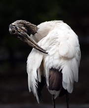 Wood Stork Is Twisting Its Textured Gray-brown Beak Head And Down-curved Beak To Preen The White Feathers On Its Back Against A Dark Background.