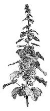 Flowering Stem Of Hollyhock Vi...