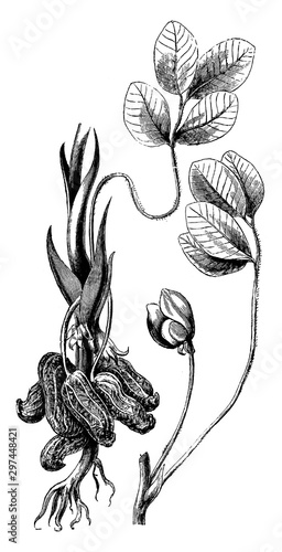 Photo Leaf, Flower, and Clusters of Arachis Hypogaea vintage illustration
