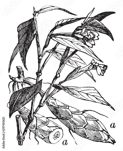 Arrowroot-Plant vintage illustration. Canvas Print