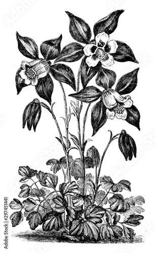 Canvas Print Aquilegia Glandulosa Flower vintage illustration.