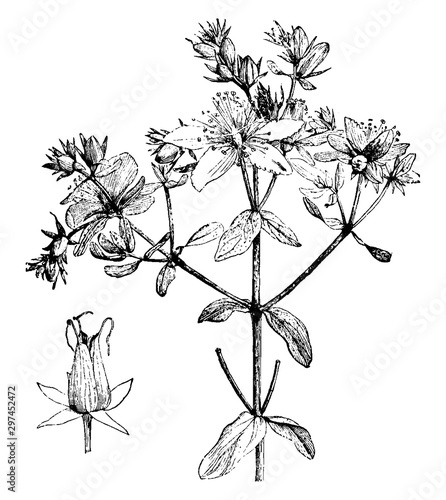 Fényképezés Dehiscing Capsule and Portion and Inflorescence of Hypericum Perforatum vintage illustration