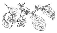 Branch Of Witch Hazel Vintage ...