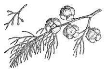 Branch Of Monterey Cypress Vintage Illustration.
