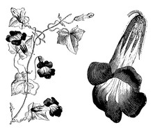 Portion Of Flowering Stem And Detached Flower Of Maurandya Barclayana Vintage Illustration.