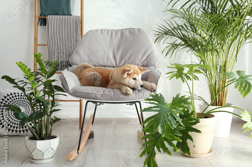 Photographie Cute Akita Inu dog on rocking chair in room with houseplants