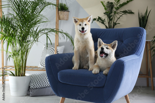 Cute Akita Inu dogs on armchair in room with houseplants Wallpaper Mural