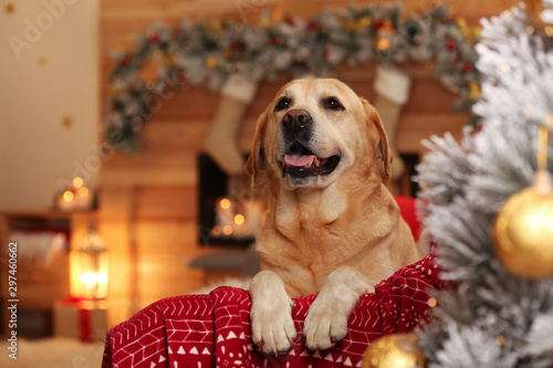 Obraz Cute dog on sofa in room decorated for Christmas. Adorable pet - fototapety do salonu
