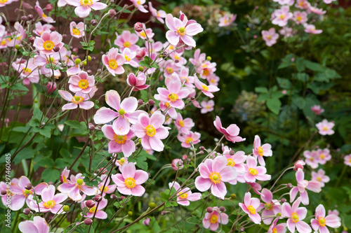 Tableau sur Toile Beautiful anemone hupehensis blossom in garden.