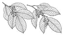Branch Of September Elm Vintage Illustration.