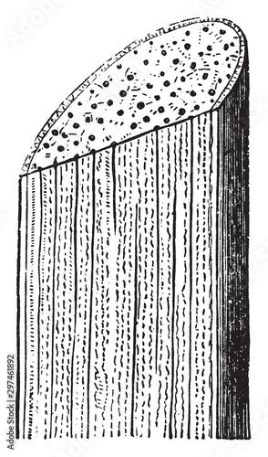 Vászonkép Cornstalk vintage illustration.