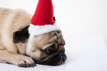 Bored Adorable Pug Wearing Santa Hat In Feeling So Sad Christmas Day Alone On Grey Background,Sad Christmas And New Year Concept