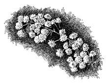 Spiraea Prunifolia Vintage Illustration.