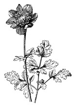 Anemone Coronaria Vintage Illustration.