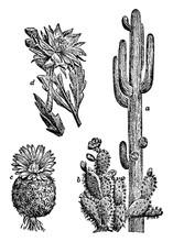 Various Cacti Vintage Illustra...