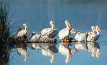 White Pelicans On The Bear Riv...