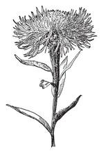 Centaurea Americana Vintage Illustration.