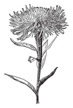 Centaurea Americana Vintage Il...